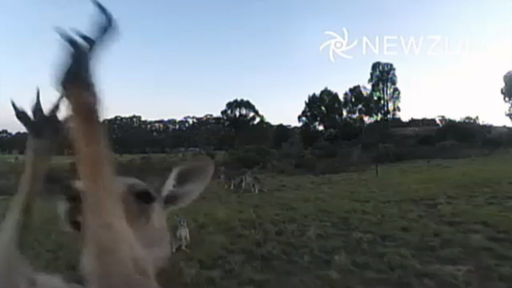 A kangaroo brought down a drone last week in the latest case of a hobbyist who flew too close to animals. Credit: Video Still