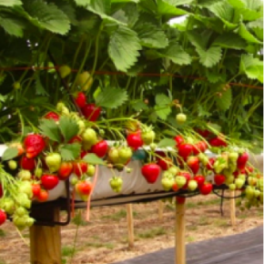 Modern strawberry trestles. Source: The Shadow Robot Company