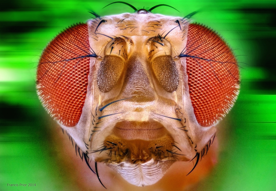 Fruit Fly - drosophila melanogaster. Source: Francis Prior/flickr
