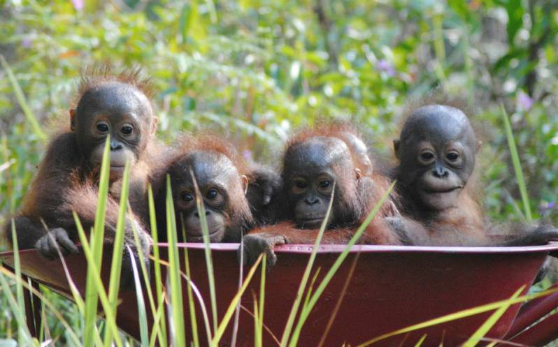 babies-rescued-by-our-borneo-rescue-centre-2014-copy