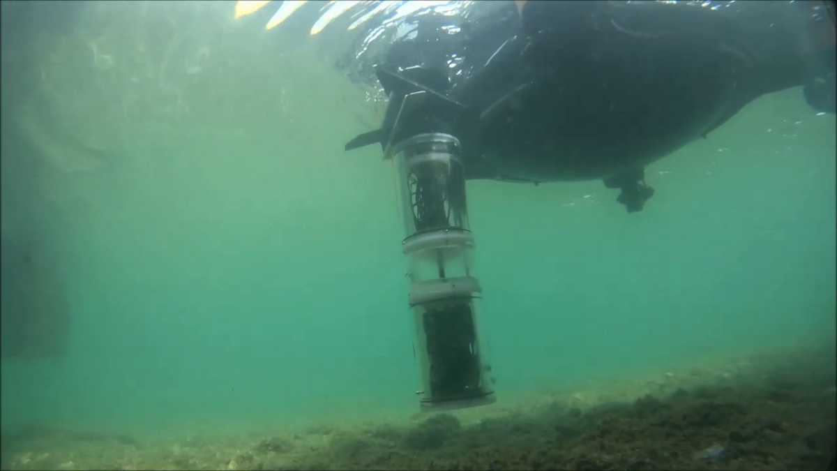 The robotic mussel floats up and docks in the artifical lily pad to charge. Image courtesy: subCULTron