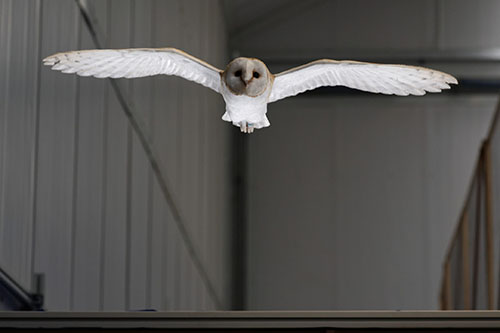 Lily the barn owl flying